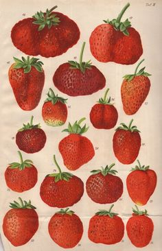 """antique strawberries illustration - Ernst Regel - from """"Die Himbeere und Erdbeeren"""", 1866 Photo Wall Collage, Picture Wall, Collage Art, Room Posters, Poster Wall, Poster Prints, Botanical Prints, Botanical Drawings, Aesthetic Art"""