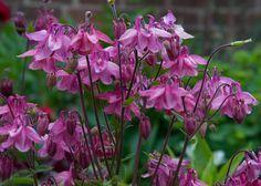 Milyen növényeket is ültessünk a kertünkbe, hogy egész nyáron gyönyörködjünk a szépségükben? A választék gazdag és változatos, de elsősorban mégis az évelő növények a legkeresettebbek, hiszen hosszú életűek és nem igényesek. Lássuk melyek azok az évelő növények, amelyek a legnépszerűbbek. Sarkantyúfű Olyan évelő növény, amely bírja a szárazságot és a[...] Gardening Tips, Planting Flowers, Purple, Plants, Happy, Decor, Orchids Garden, Gardens, Flowers