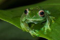 Elena's Treefrog, in Perinet, Madagascar / by Sean Crane on 500px