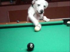 HALO THE POOL PLAYING DOG - http://www.doggietalent.com/2014/11/halo-the-pool-playing-dog/