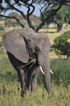 Elephant (by Greg Annandale)