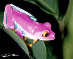 Pink Frog