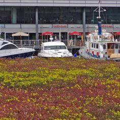 Green roof capturing air pollution at St Katharine Docks #greenarchitecture #organicarchitecture #design #contemporarydesign #modernhouse #midcenturydesign #floatingoffices #floatingpavilions #architecturephotography  #urban #londonarchitecture