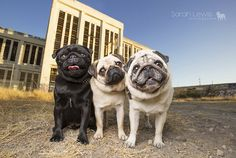 On the blog today discover some amazing images from a recent Pugs of Perth session by Sarah Lewis Photography. http://www.thepugdiary.com/pugs-perth-lexie-jax-reggie-sarah-lewis-photography/