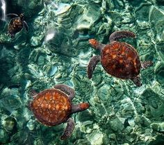 Turtles, Maldives