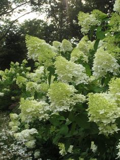 Limelight Hydrangea  .... Just like the one at our old house. Makes me sad I won't see it bloom this year!  Planting for sure at new house!