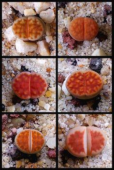 Lithops jewels pebbles...