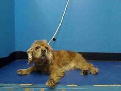 C.C is an adoptable Cocker Spaniel Dog in New York, NY.  ...