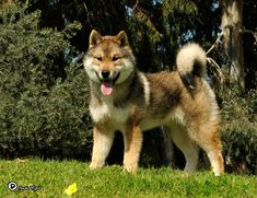 Shikoku, young female, Israel  Born in Japan.