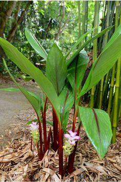 Curcuma rubescens 'Ruby' So many ginger options for a tropical garden - Modern Tropical Backyard Landscaping, Tropical Garden Design, Home Garden Design, Front Yard Landscaping, Tropical Plants, Tropical Gardens, Hawaiian Gardens, Leafy Plants, Variegated Plants