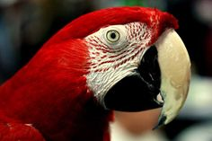 Greenwing Macaw (Notice the red feathers on the face & white on the upper beak)