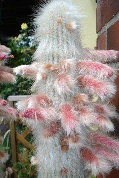 "Cleistocactus strausii Otros nombres más populares son ""silver torch"" o Antorcha Plateada"