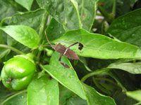 Photo: leafft-bug-pepper