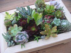18 Succulents Cuttings Terrarium Great For by SucculentsGalore