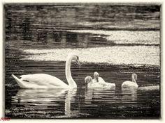 MRI2009 posted a photo:  La petite famille des cygnes de l'étang de Groenendael.  traitement lightroom et Silver Efex Pro (N/B)