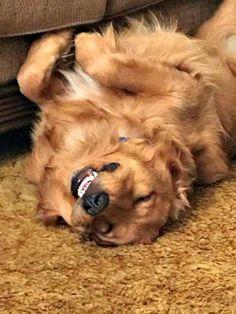 The happy Golden upside down smile :D
