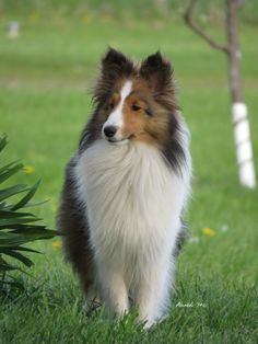 The Shetland Sheepdog originated in the and its ancestors were from Scotland, which worked as herding dogs. These early dogs were fairly Pet Dogs, Dogs And Puppies, Doggies, Sheep Dogs, Sheepdog Tattoo, Dog Dna Test, Shetland Sheepdog Puppies, Herding Dogs, Sheltie