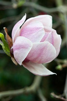 Magnolia 'Purple Platter'