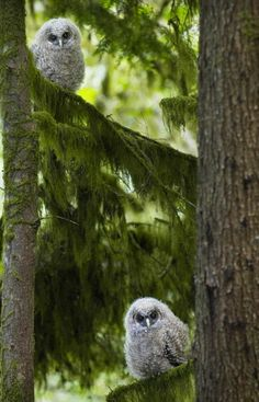 Two fledging spotted owls perch in a forest west of Eugene, Oregon