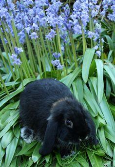 Bunny among the Bluebells                                          #rabbits #pets #animals