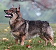 The Swedish Vallhund. A very old Spitz-type breed known since the time of the… Corgi Breeds, Rare Dog Breeds, Corgi Dog, Dog Cat, Norwegian Elkhound, Farm Dogs, Dog Mixes, Purebred Dogs, Queen