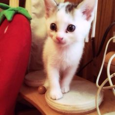苺     #Cat #Baby #子猫 #黒猫 #白猫