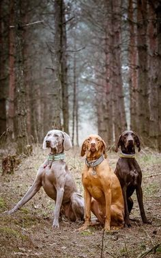 Weimaraner, Vizsla & German Pointer