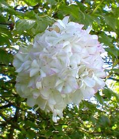 Snowball viburnum are often mistaken for hydrangea (which is a summer flower). Viburnum start of lime green and quickly turn white. They are great in centerpieces.