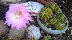 Succelent cactus