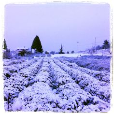 Our first snow...  lavender farm   Hood River, Or So many different shades