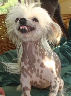 Chinese Crested love hugs and always craves human company. -- Visit the image link for more details on taking care of pet dogs.