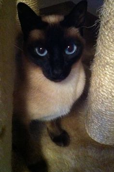 Siamese cat (Jade)-This beauty looks just like our Joshua did....he died of pancreatitis, when he left he took our hearts with him. RIP my sweet Joshy boy.. we love you.