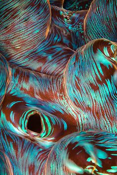 soft tissue of a giant clam (tridacna squamosa) aqua teal turquoise.