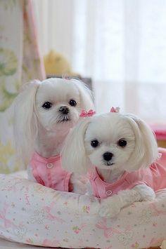 Adorable Maltese puppies ✿⊱╮