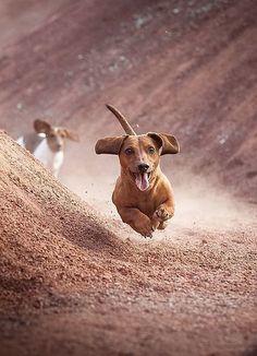 Doxies running for fun ♥ #dachshund