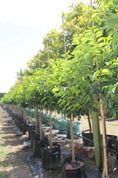 Prunus lusitanica 'Portugese Laurel Standards' This is a link to a NZ site Evergreen Trees, Prunus, Outdoor Living, Garden Ideas, Exotic, Landscaping, House Ideas, Gardens, Outdoors