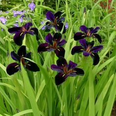 'Black Gamecock' Louisiana Iris  This is very dramatic and striking. I didn't plant it in a naturally moist spot, so it needs tons of watering.