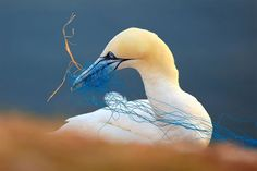 Northern gannet with discarded netting in its beak, Heligoland, Germany.  Gorgeous Pics From The Final Of The 2018 Bird Photographer Of The Year Awards