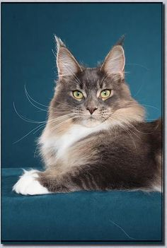 Big River Coon - Maine Coon Cats & Kittens Maine Coon Cats Washington - Females http://www.mainecoonguide.com/male-vs-female-maine-coons/