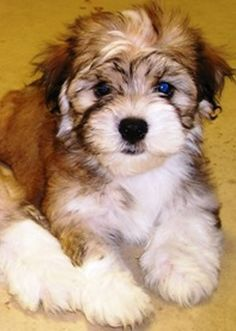 havanese puppy like Abby