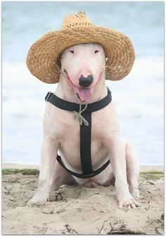 We will have to do this for our bully's on the beach so they don't burn that pink skin!