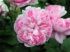 """ Sidonie "" - Hybrid Perpetual rose - Pink - Strong fragrance - Frinck Dorisy (France), 1846"