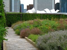 The Lurie Garden planting by Piet Oudolf, in Millenium Park, Chicago  (photo by Alice Joyce)