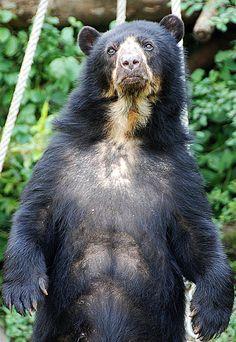 Resultado de imagen para oso de anteojos patas