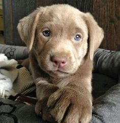 Labrador.......oh my goodness....I'm in love!!!!