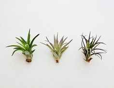 Air Plants Wholesale  The Inca Collection  by AirPlantDesignCenter