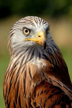 Red Kite by Shadow-and-Flame-86.deviantart.com on @DeviantArt