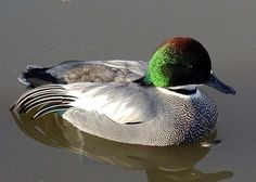 Hey, a pre-sale offer for 2012 hatch pair of Falcated Teal Ducks. Duck Species, Teal Duck, Duck Duck, List Of Birds, Fancy Chickens, Ducks Unlimited, African Grey Parrot, Buy Birds, Duck Decoys
