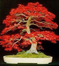 """""""A breathtaking Maple bonsai tree. A small work of art taking decades to create.Bonsai is a Japanese art form where miniature trees are grown in containers and are trained for aesthetic appreciation.flowers-like-."""