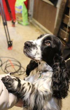 New baby names english cocker spaniel Ideas Source by aubreywinterfield The post New baby names english cocker spaniel Ideas appeared first on Daugherty Dogs. Chiots Springer Spaniel, Springer Spaniel Welpen, Springer Spaniel Puppies, English Springer Spaniel, Spaniel Dog, Field Spaniel, Blue Roan Cocker Spaniel, Black Cocker Spaniel, American Cocker Spaniel